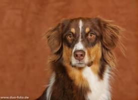 Foto 3 Australian Shepherd Welpen