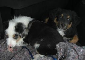 Blue Merle Boy und Black Tri Girl