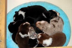 Australian Shepherd Welpen mit ASCA-Papieren Red Tri / Black Tri