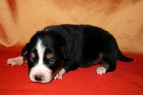 Foto 3 Australian Shepherd Welpen mit ASCA-Papieren Red Tri / Black Tri