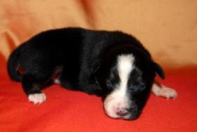 Foto 5 Australian Shepherd Welpen mit ASCA-Papieren Red Tri / Black Tri