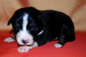 Foto 6 Australian Shepherd Welpen mit ASCA-Papieren Red Tri / Black Tri