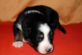 Foto 7 Australian Shepherd Welpen mit ASCA-Papieren Red Tri / Black Tri