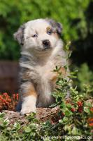 Foto 6 Australian Shepherd Welpen-Auf in neue Abenteuer