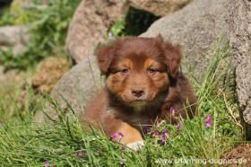 Foto 9 Australian Shepherd Welpen-Auf in neue Abenteuer