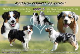 Foto 2 Australian Shepherd Welpen mit FCI Papieren
