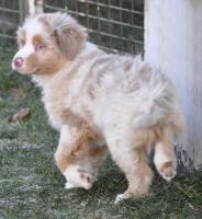 Foto 4 Australian Shepherd Welpen Rüden für Menschen mit Herz und Gefühl