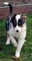 Foto 4 Australian Shepherd Welpen (Standard)