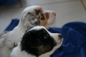 Foto 2 Australian Shepherd Welpen aus...