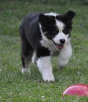Foto 2 Australian Shepherd Welpen für besondere Menschen