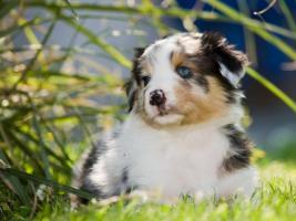 Foto 2 Australian Shepherd Welpen m.P.