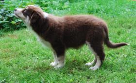 Australian Shepherd Welpen red tri