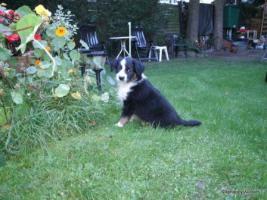 Foto 2 Australian Shepherd Welpen suchen liebevolles Zuhause