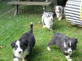 Foto 5 Australian Shepherd Welpen suchen liebevolles Zuhause