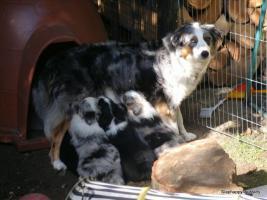 Foto 6 Australian Shepherd Welpen suchen liebevolles Zuhause