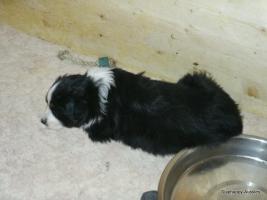 Foto 7 Australian Shepherd Welpen suchen liebevolles Zuhause