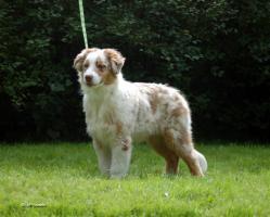 Foto 3 Australian Shepherd Welpen zu verkaufen