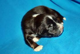 Foto 4 Australian Shepherd Welpen   ASCA