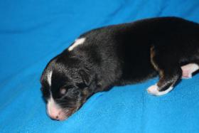Foto 6 Australian Shepherd Welpen   ASCA