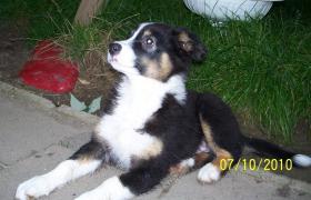 Foto 2 Australian Shepherd Welpen - ASCA Papiere