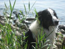 Foto 3 Australian Shepherd Welpen - Seltene Gelegenheit!