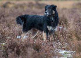 Australian Shepherd Wurfankündigung (Las Rocosa, Mistretta und Touchstone Linien)