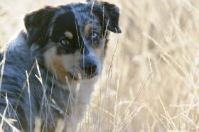 Foto 2 Australian Shepherd Wurfankündigung (Las Rocosa, Mistretta und Touchstone Linien)