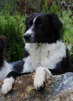 Australian Shepherd-Wurplanung für Sommer 2011