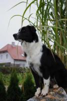 Foto 4 Australian Shepherd-Wurplanung für Sommer 2011