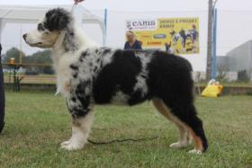 Australian Shepherd wunderschöne Welpen mit Papiere FCI