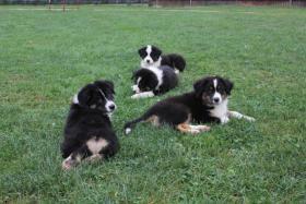Foto 5 Australian Shepherd wunderschöne Welpen mit Papiere FCI