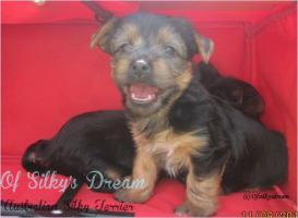 Foto 2 Australian Silky Terrier Welpe