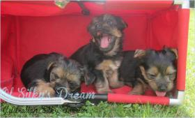 Foto 3 Australian Silky Terrier Welpe