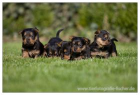 Australian Terrier Jumpers erwarten für November Welpen