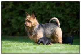 Foto 2 Australian Terrier Jumpers erwarten für November Welpen