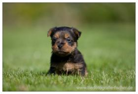Foto 3 Australian Terrier Jumpers erwarten für November Welpen