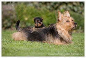 Foto 6 Australian Terrier Jumpers erwarten für November Welpen