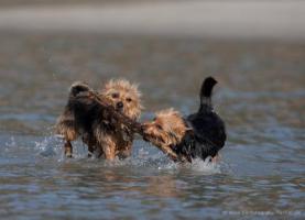 Foto 14 Australian Terrier Jumpers erwarten für November Welpen
