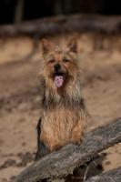 Foto 15 Australian Terrier Jumpers erwarten für November Welpen