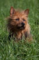 Foto 16 Australian Terrier Jumpers erwarten für November Welpen