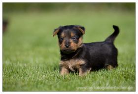 Foto 17 Australian Terrier Jumpers erwarten für November Welpen