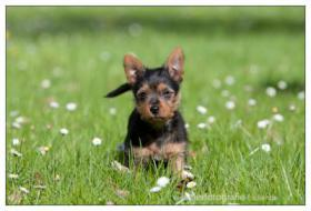 Foto 18 Australian Terrier Jumpers erwarten für November Welpen