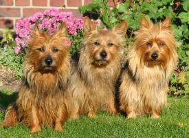 Foto 2 Australian Terrier Jumpers haben Welpen 4R/1H