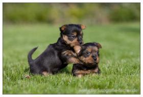 Foto 4 Australian Terrier Jumpers haben Welpen 4R/1H