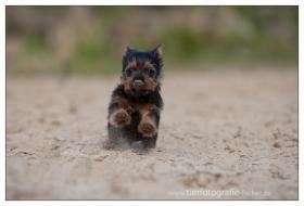 Foto 5 Australian Terrier Jumpers haben Welpen 4R/1H