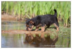 Foto 6 Australian Terrier Jumpers haben Welpen 4R/1H