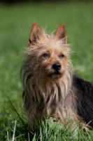 Foto 4 Australian Terrier Welpen