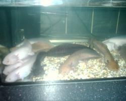 Axolotl in ausgefallener Farbe keks/copper/  und weitere Farben