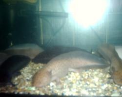 Foto 2 Axolotl in ausgefallener Farbe keks/copper/  und weitere Farben
