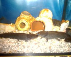 Foto 3 Axolotl in ausgefallener Farbe keks/hellbraun und weitere Farben
